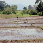 Growing rice, Sri Lanka
