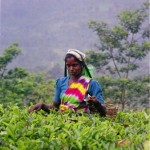 Picking tea leaves, Sri Lanka